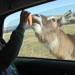 Dando de comer a los animales en Safari Madrid. ©José Ramón Aguirre